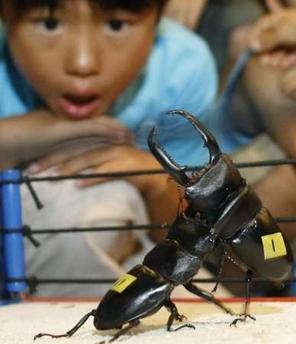 Beetle Sumo Wrestling